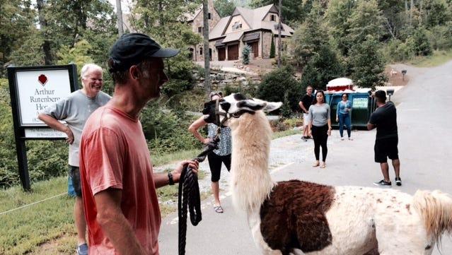 Phantom the llama is captured.