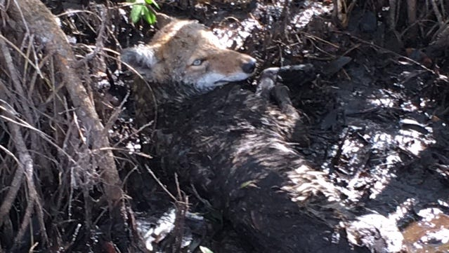 An injured coyote lies paralyzed in a ditch along U.S. 41 after being hit by a car. A fisherman spotted the coyote and called the Conservancy for assistance.