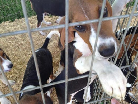 Walker Deer Dogs For Sale