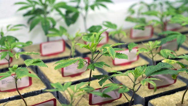 Marijuana plants start in small dishes of spun basalt rock, much like cotton candy, before moving to a series of larger pots, then grow rooms where they mature into smokable marijuana. These small plants are clones, which prevent male plants from entering the building, which could change the marijuana strains through cross breeding.