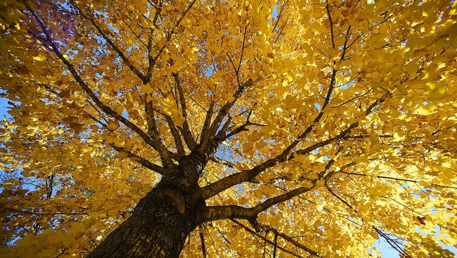Because Kentucky has such a diverse climate and soil composition, many tree species common to both northern and southern states grow here. This provides a variety of fall colors for us to enjoy.