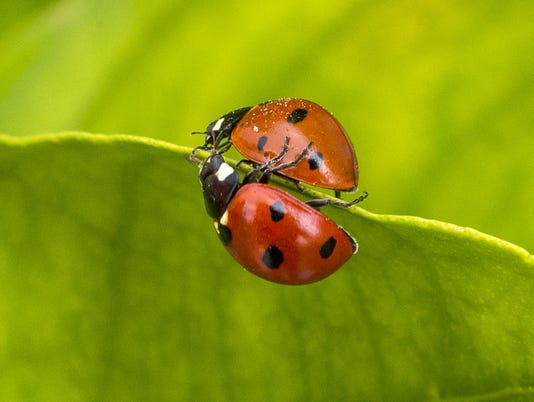 lady bug lady beetle