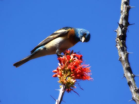 A lazuli bunting perches on an ocotillo blossum in