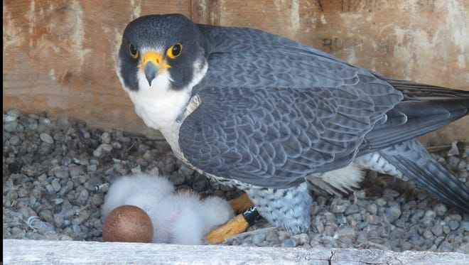 Three baby Peregrine falcons hatched in a nest on the Times Square Building between May 1 and 2, 2017.