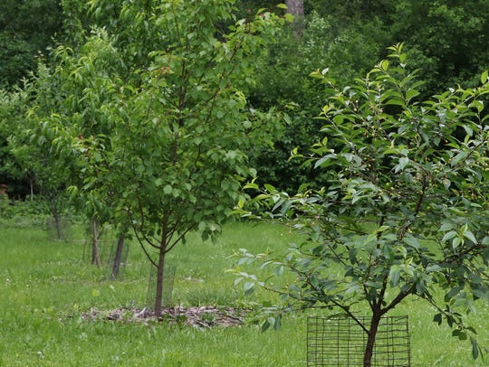 Six varieties of fruit bearing trees are growing in