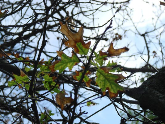 Oak wilt 2