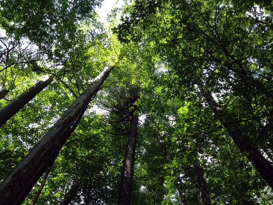 636017074817289130-Hartwick-Pines-Old-Growth-Forest