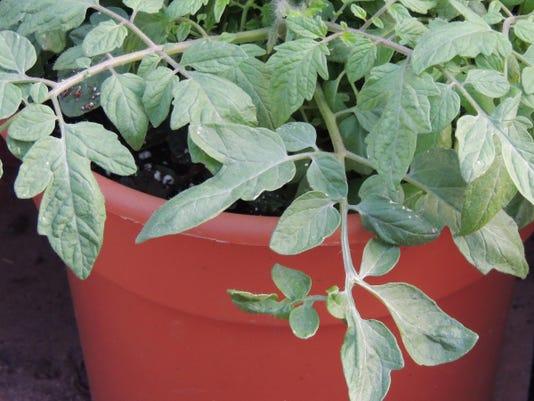 WSF 0519 tomato tips 1