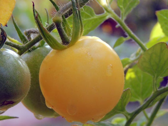 Cherry tomatoes and other miniatures are popular tomatoes for containers and small spaces.