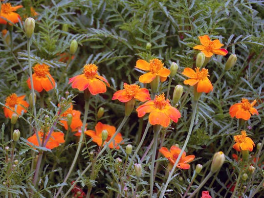 Use companion plants, like these gem marigolds, to help ward off potential insect and rodent pests.