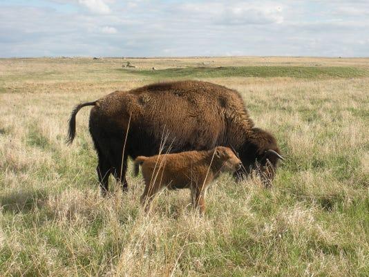 STC 0913 Buffalo 1.jpg