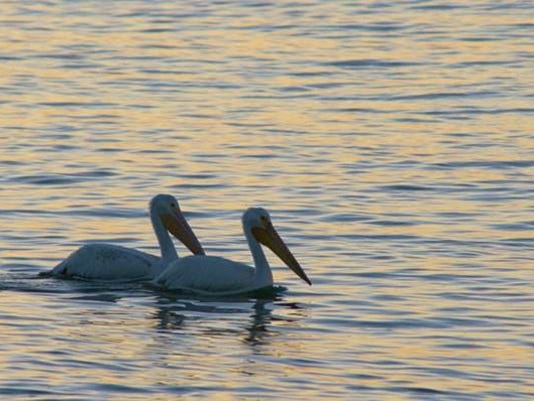 636016066972065557-White-Pelicans.jpg