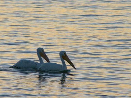 This pair of white pelicans was photographed by R.L.