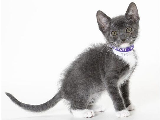 Bean, 3-month-old male domestic short hair kitten.
