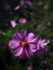 Cosmos are not edible but are dependable growers.