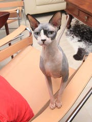 Beast, a Sphynx cat owned by Jennifer Euler of Naples