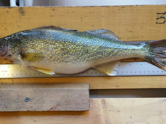 One of the walleyes that was discovered in Swan Lake.
