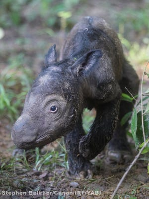 A Sumatran rhino calf with Cincinnati ties was born May 12.