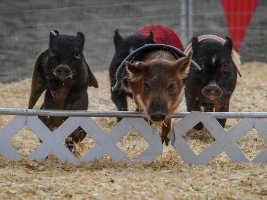Freehold  NJ      40th Annual Monmouth County Fair, Day One.  The Robinson's Pig Racing out of Tampa, FL.  072314  Tom Spader/Asbury Park Press