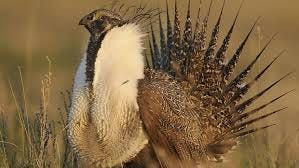 Adult maile sage grouse