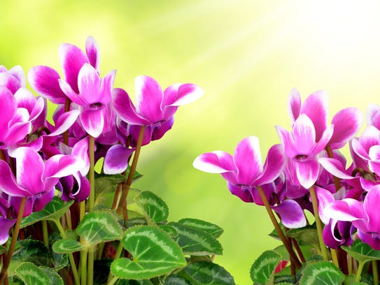 Cyclamen start entering the stores early in December,