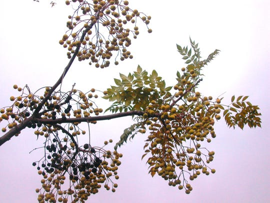 Fruits and leaves of the chinaberry tree are poisonous