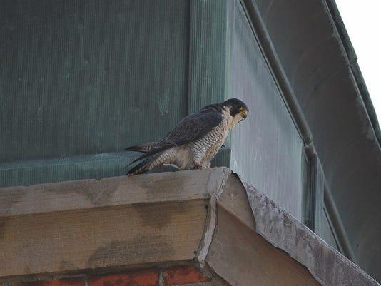 Fremont falcon.jpg