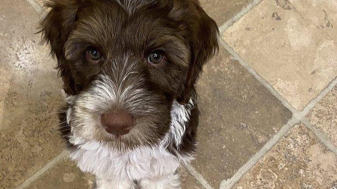 Gov. Gretchen Whitmer and her family welcomed a new dog, Doug, an 8-week-old Aussiedoodle, this week.