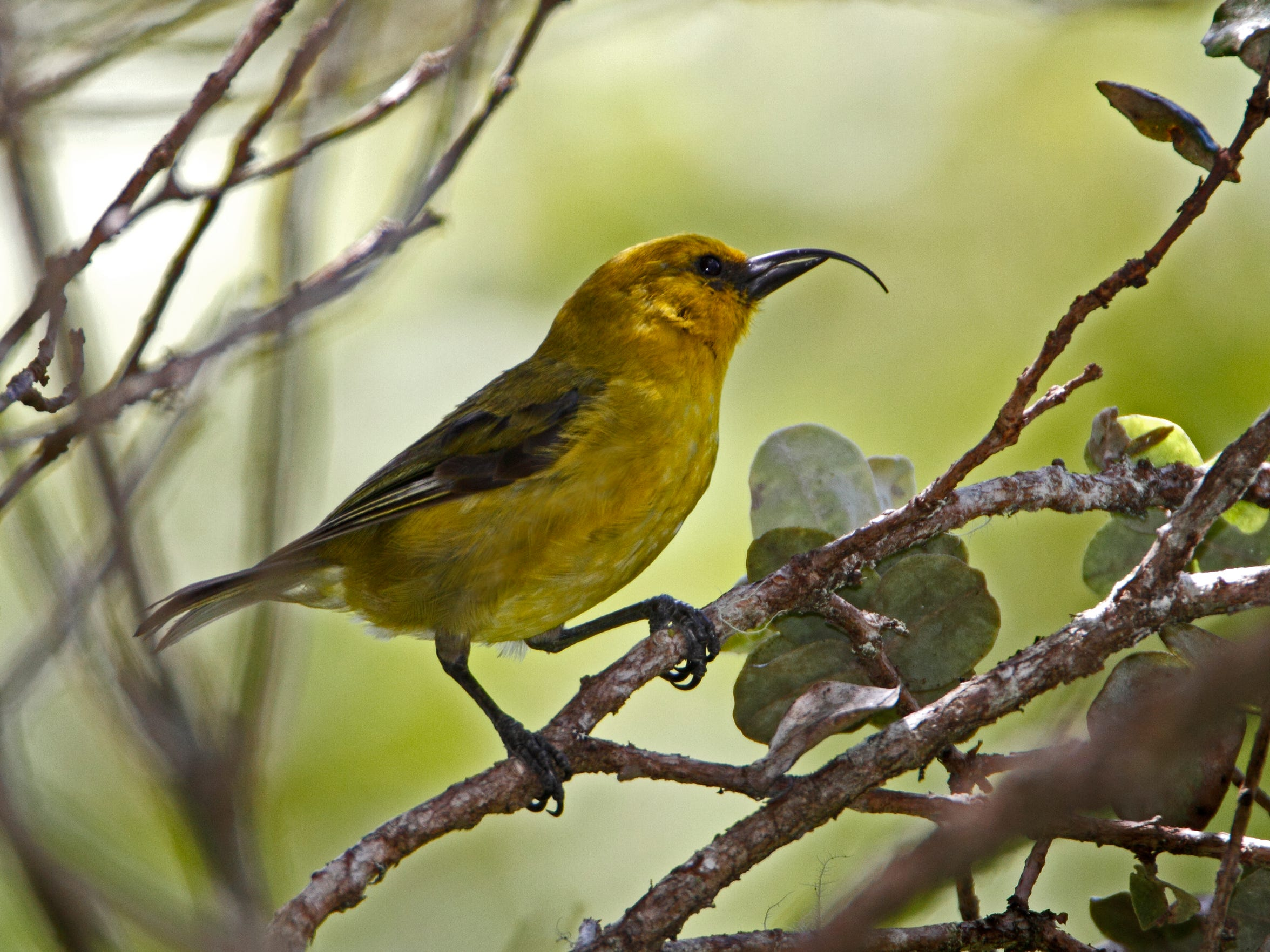 Hawaii forest managers are working to protect the akiapōlā'au,