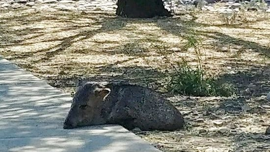The Arizona Game and Fish Operation Game Thief program is offering a $1,500 reward for information that will lead to whoever illegally killed a pregnant javelina in Tucson.
