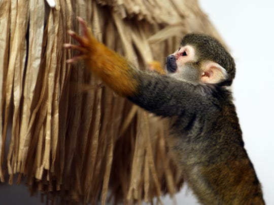 Pip, a squirrel monkey, investigates the thatch roof of a display in the Monterey Zoo's Education Center.
