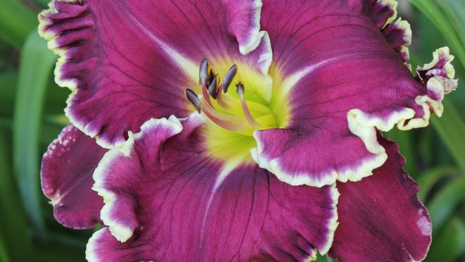 Regal and striking in deep purple, edged in white, Year Of Jubilee is new for 2015 from Pinewood Gardens.