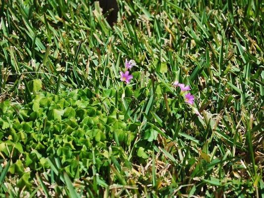 636425620970631788-Weeds-Oct-15--yard-doc.JPG