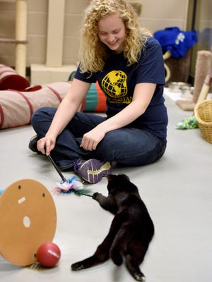 """Miranda Goldammer plays with """"Stan"""" in the feline friend room at the Sioux Falls Area Humane Society while volunteering on Wed., Nov. 2, 2016."""