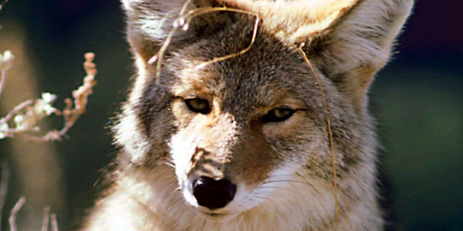 44e4e4b1e Flipboard  Arizona Coyotes Weekly  A Powerless Power Play