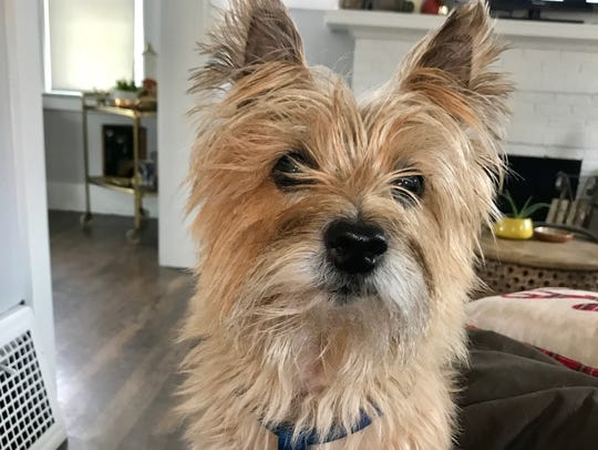 John Vermiglio's dog Stanley, an 8-year-old Cairn terrier.