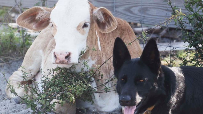 Bella the farm dog and her best friend, a calf that lives at Circle C Farms in Felda.