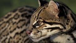 Sihil, the Cincinnati Zoo's Cat Ambassador Program's