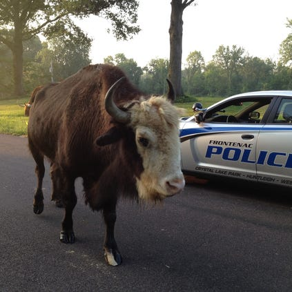 A bison and a steer got loose Friday morning in Huntleigh, Mo.