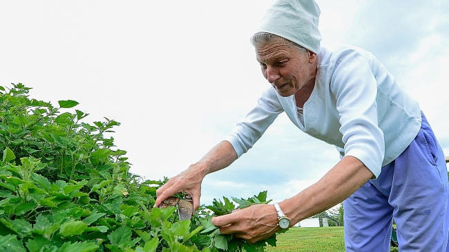 Willa Lefever harvests wild growing lamb's quarters at the Sonnewald farm.
