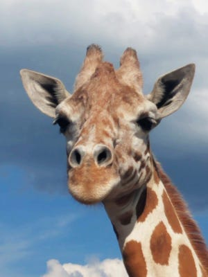 """This July 2018 image provided by Animal Adventure Park shows the April the Giraffe at Animal Adventure Park in Harpursville, N.Y. April, the giraffe whose pregnancy became an internet sensation, is pregnant again. Jordon Patch of Animal Adventure Park announced the pregnancy Wednesday, July 25, on NBC's """"Today"""" show."""