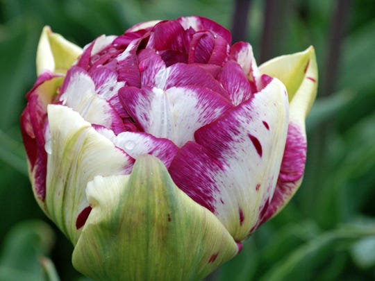 The Jericho Double Tulip blooms in mid-spring.