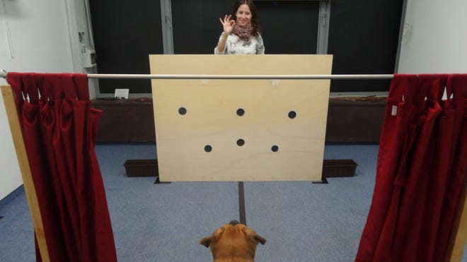 A woman holds a piece of dog food, which she'll place in one of the two black boxes while the red curtain keeps the dog from seeing which box she's putting it in.