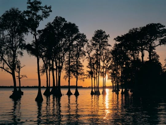 Cypress trees in Cypress Gardens at sunset, Florida, USA