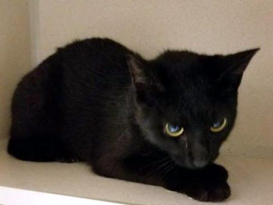 Fitch is a beautiful, adult, female domestic short