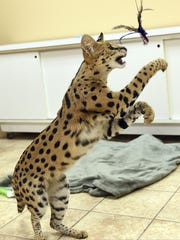 An African Serval cat, like the one pictured in the file photograph, was shot and killed by a Fairfield County Sheriff's deputy in Violet Township after attacked a dog.