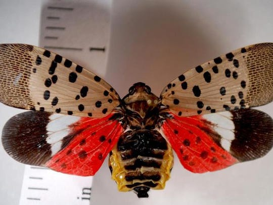 A spotted lanternfly in its adult stage.