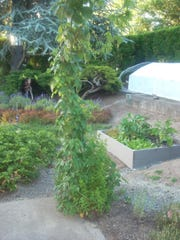 Hops grow on a pole next to a raised vegetable garden in a South Salem garden.
