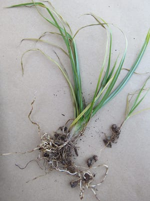 Nutsedge is a difficult weed to control.