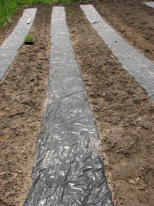 636313149105989091-05-28-2017-Black-plastic-for-soil-warm-up-1.JPG